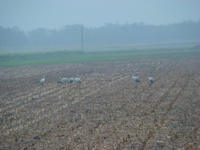 Kraanvogels 2011